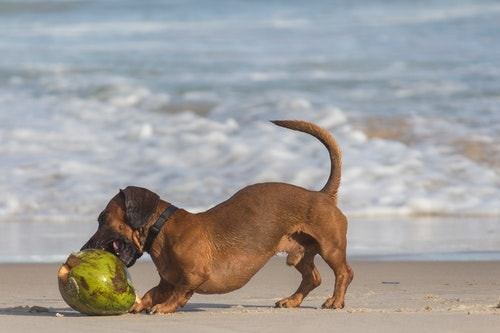 brown dog playing with a coconut at the beach